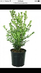 Buxus japonica Middleton Grange Liverpool Area Preview
