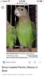 ISO brown head parrot