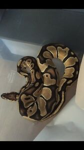 0.1 orange dream ball python