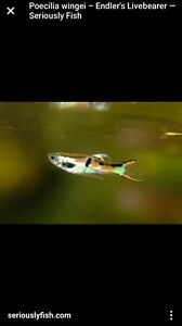 Males guppies