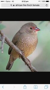 African fire finch Rockingham Rockingham Area Preview