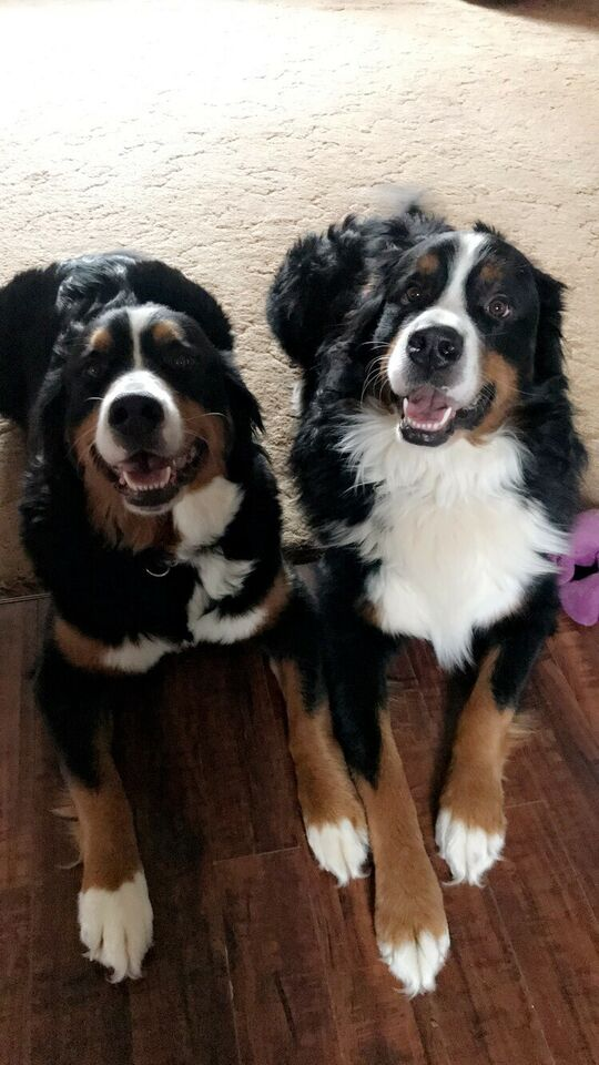 3 Male Bernese mountain dog puppies left!