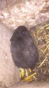 Purebred Netherland dwarf rabbits for sale Glenroy Moreland Area Preview