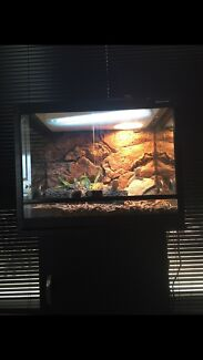 Bearded Dragons Including Enclosure Coolangatta Gold Coast South Preview