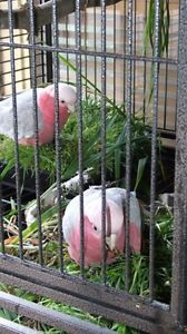 Galah 9 months old Riverstone Blacktown Area Preview
