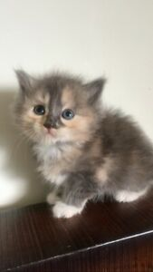 Adorable Persian x Ragdoll kitten