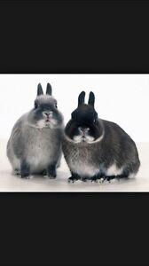 Netherland dwarf bunnies McLaren Vale Morphett Vale Area Preview