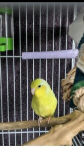 American yellow parrotlet