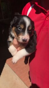 Pure Bred Border Collie Puppies Uranquinty Wagga Wagga City Preview