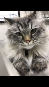 Chat Maine Coon 550$