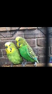 Two Budgies with Cage & Accessories Clyde Casey Area Preview