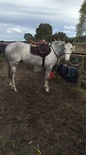 Gorgeous athletic TB gelding Clyde Casey Area Preview