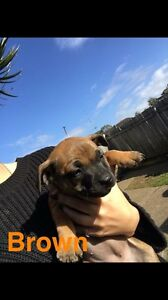 Staffy puppies Windale Lake Macquarie Area Preview