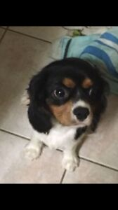 2 year old cavalier King Charles spanial Deception Bay Caboolture Area Preview