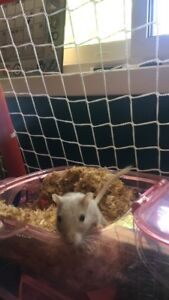 2 gerbils+ cage and accessories!