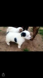 Staffy cross Maltese puppies Adelaide CBD Adelaide City Preview