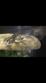 Southwest carpet python + set up