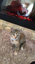 Beautiful Playful  Kittens Campbelltown Campbelltown Area Preview