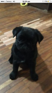 Black pug puppy Hill Top Bowral Area Preview