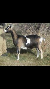 3 bred Registered French Alpine does