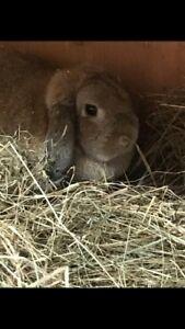 Holland lop doe for sale