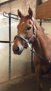 Hunter / jumper gelding