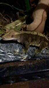 Male Crested Gecko and Terrarium