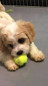 Stunning 8 week old Cavoodle puppy Sydney City Inner Sydney Preview