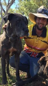 Pups Dane mastiff wolfhound Mulbring Cessnock Area Preview