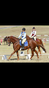 Super Eventer / All-Rounder For Sale Nerang Gold Coast West Preview
