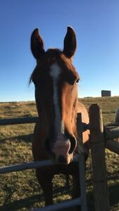 6 year old QH mare