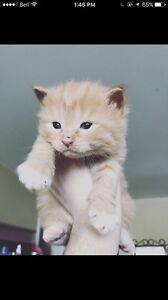Rare Orange Tabby Female Manx kitten !