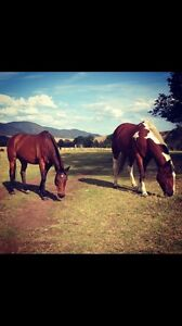 Paint Horse Gelding Gloucester Gloucester Area Preview