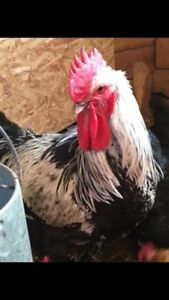 Free rooster looking for home