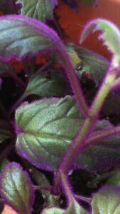 Purple passion plant .   Starter plant (potted) $20