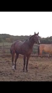 2 well behaved Thoroughbreds