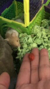 Male mouse needs loving home