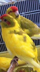 Kakariki pair for $130 Hampton Park Casey Area Preview