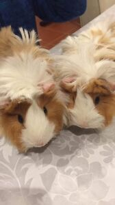 My cute guinea pigs just 7 months Balcatta Stirling Area Preview