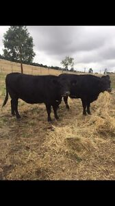 Angus cows Miners Rest Ballarat City Preview