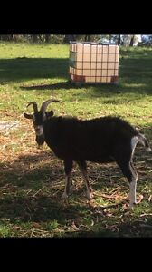 Goat - British Alpine Billy goat Dapto Wollongong Area Preview