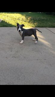 Blue American Staffordshire Puppies