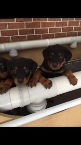 Bob tail Rottweiler puppies dogs natural born for sale Bringelly Camden Area Preview