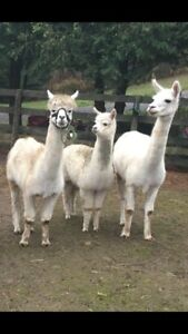 Alpaca (Male and pregnant female)