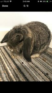 6 month holland lop bunny including all supplies