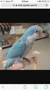 Lost 3 blue Quaker parrots Davoren Park Playford Area Preview