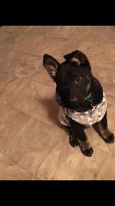 Lab German shepherd cross puppy