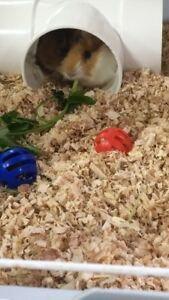 Guinean pigs to rehome( boys)