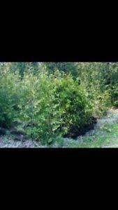 Looking for swamp cedars