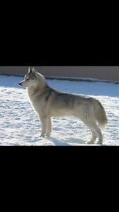 Looking to buy a husky dog